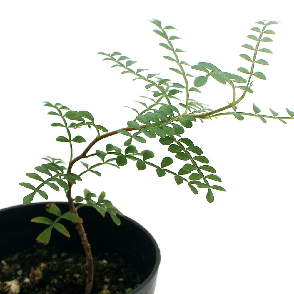 (観葉植物)オペルクリカリア パキプス 実生苗 3号(1鉢) コーデックス 北海道冬季発送不可