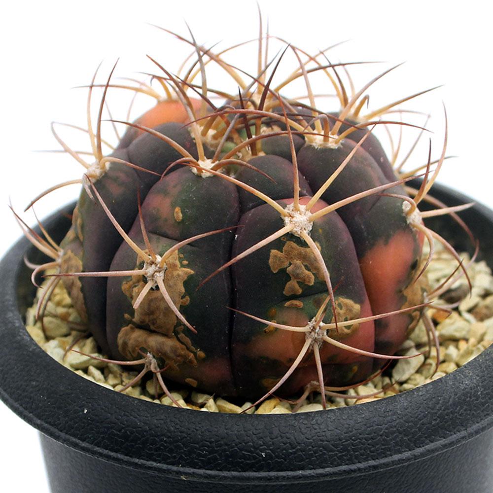 (観葉植物)一点物 サボテン ギムノカリキウム 天紫錦 3.5号(1鉢)(365713) 北海道冬季発送不可