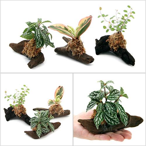 (観葉植物)テラリウム向け ミニ観葉付流木 Sサイズ(約15cm)(3本) 北海道冬季発送不可
