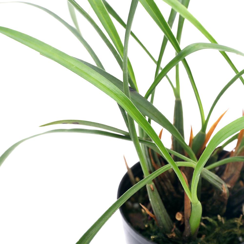 観葉植物 洋ラン マキシラリア 直営限定アウトレット 直営限定アウトレット シュンケアナ 1ポット 2.5~3号