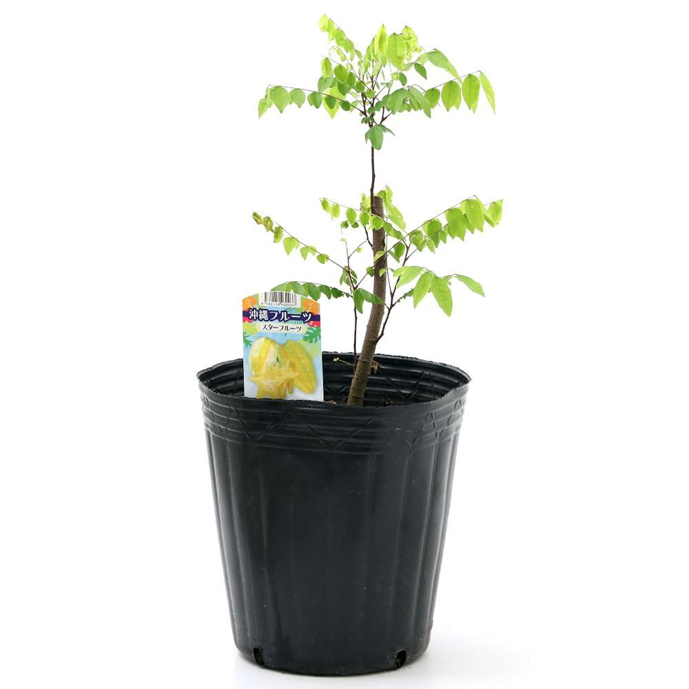 (観葉植物)果樹苗 沖縄 スターフルーツ 7号(1ポット) 家庭菜園 沖縄別途送料