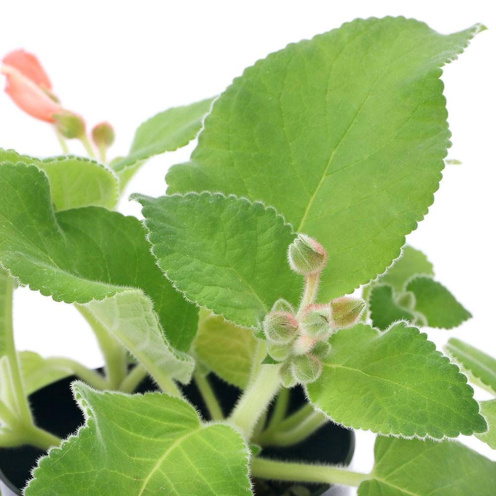 観葉植物 シンニンギア カーディナリス 交換無料 3.5号 1鉢 コーデックス 北海道冬季発送不可 本物◆