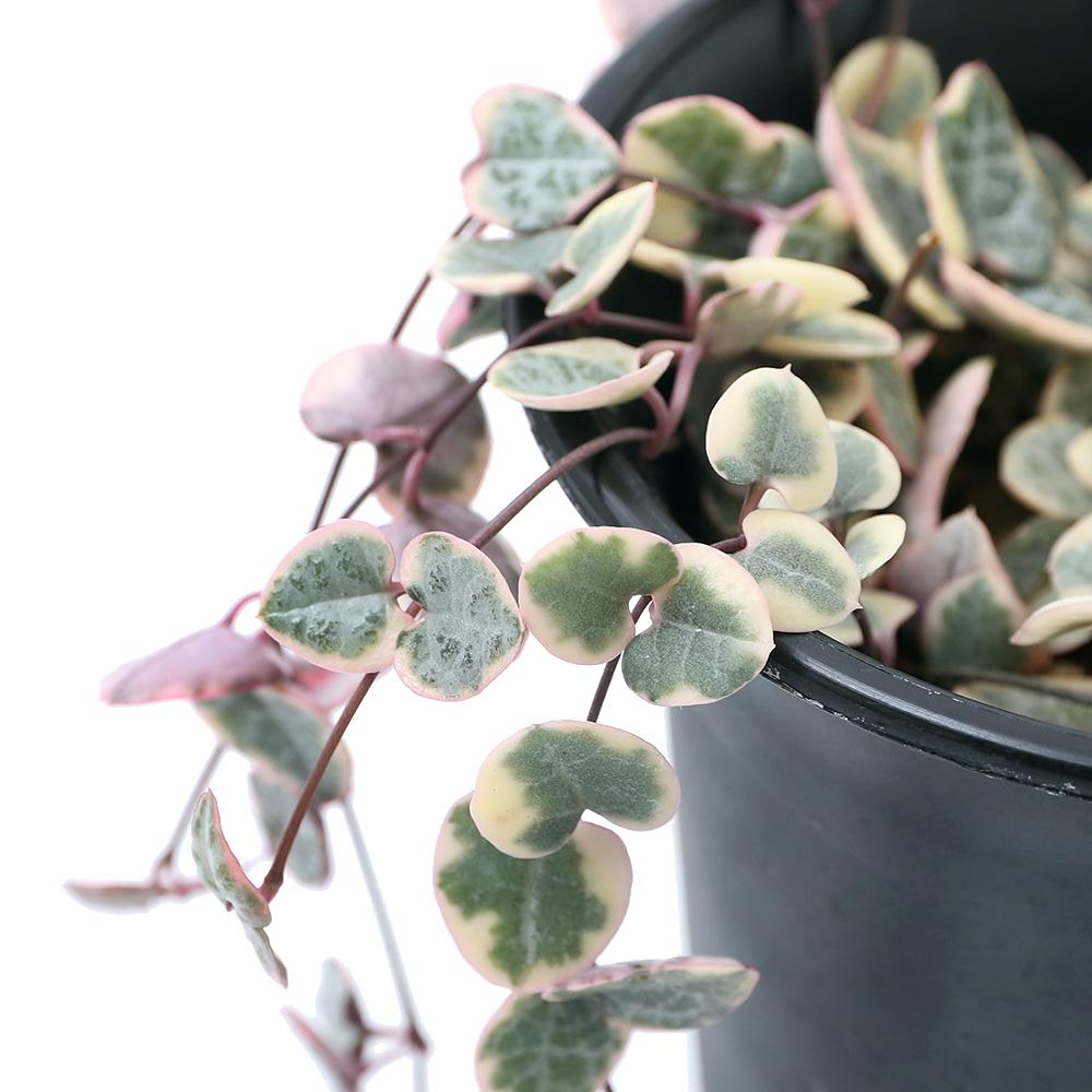 (観葉植物)ハートカズラ レディーハート(セロペギア ウッディー) 吊り鉢タイプ 3.5号(1鉢)