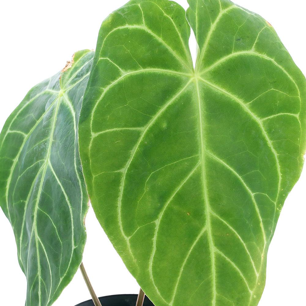 (観葉植物)原種アンスリウム マグニフィクム コロンビア産 4号(1鉢) 沖縄別途送料