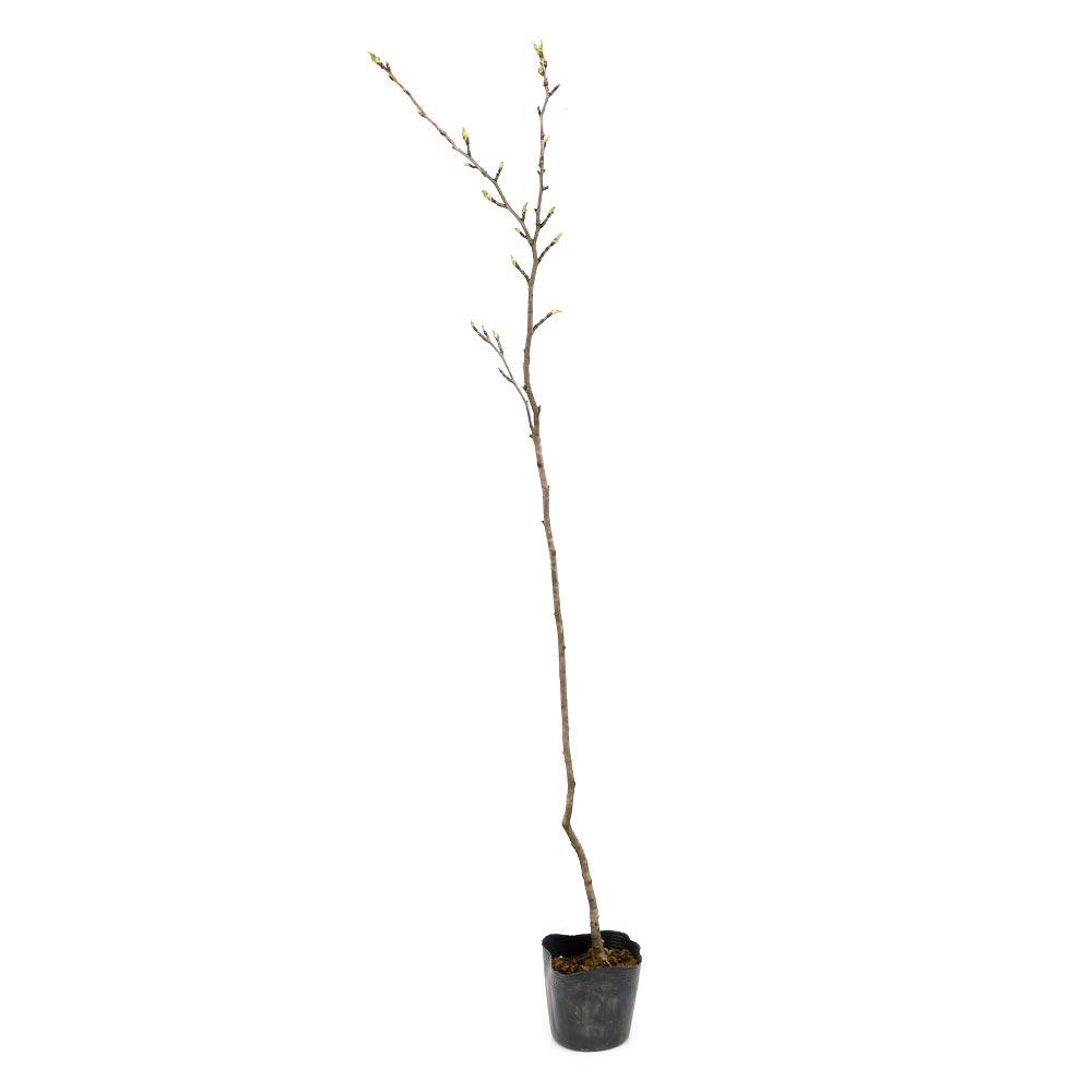 (盆栽)オオヤマザクラ(大山桜)樹高80cm程度 3号(1ポット) (休眠株)