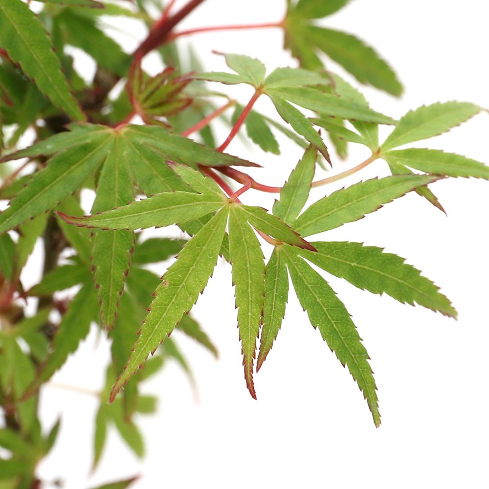 (山野草)盆栽 品種系モミジ 長良川(ナガラガワ) 3号(1ポット)