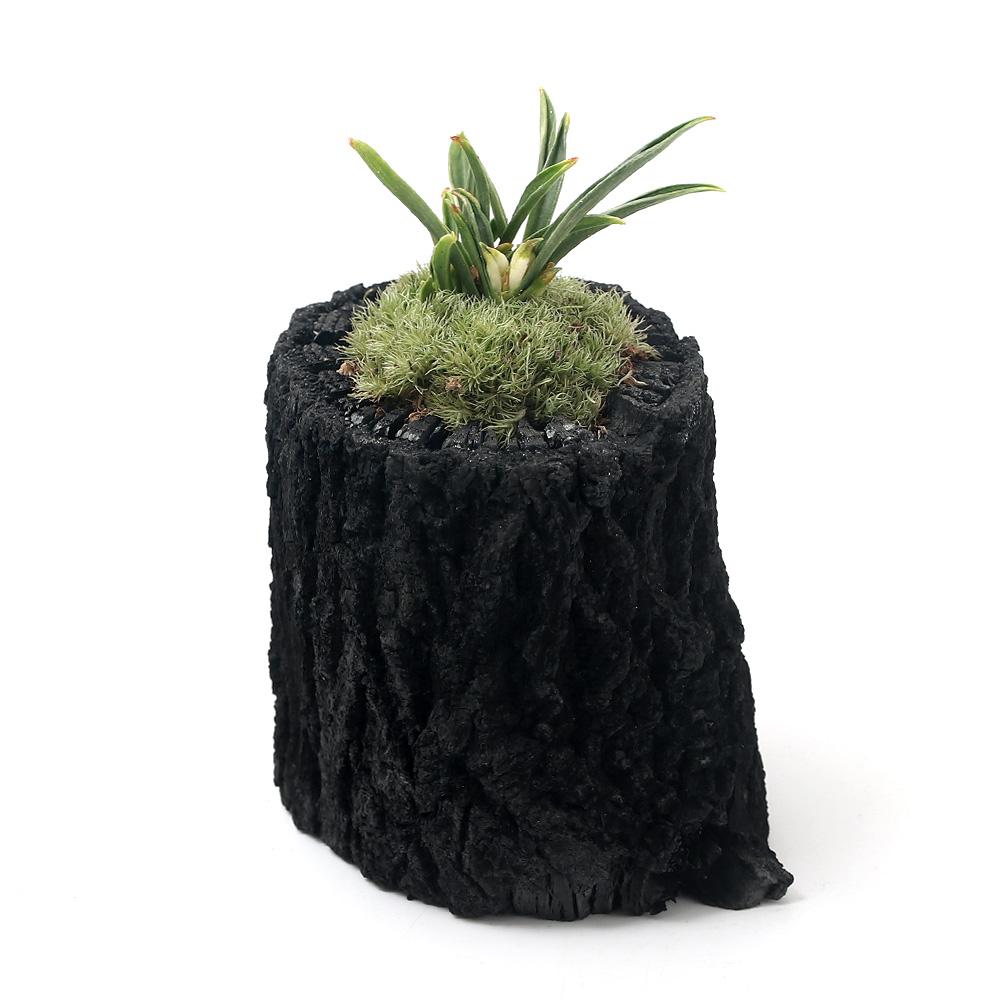山野草 苔盆栽 炭鉢植え 品種系オモト ハイクオリティ Sサイズ 超目玉 群雀 1鉢