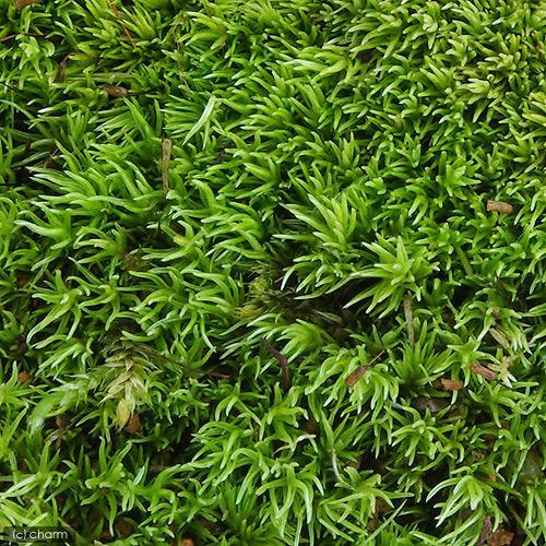 (観葉植物)苔 ヤマゴケ(ホソバオキナゴケ・アラハシラガゴケ) 4パック分
