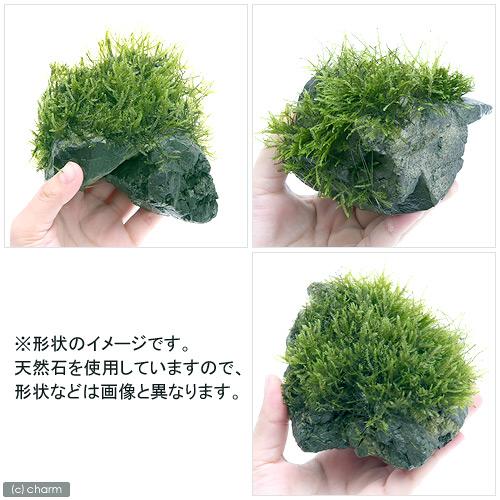 (水草)育成済 ウィローモス 風山石 Mサイズ(約14cm)(無農薬)(1個) 北海道航空便要保温
