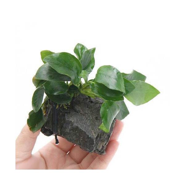 水草 アヌビアスナナ 風山石 7~10cm 1個 贈答品 Sサイズ 安値