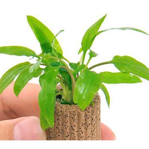 水草 ライフマルチ 気質アップ 茶 クリプトコリネ グリーン 1個 大幅にプライスダウン ウェンティー