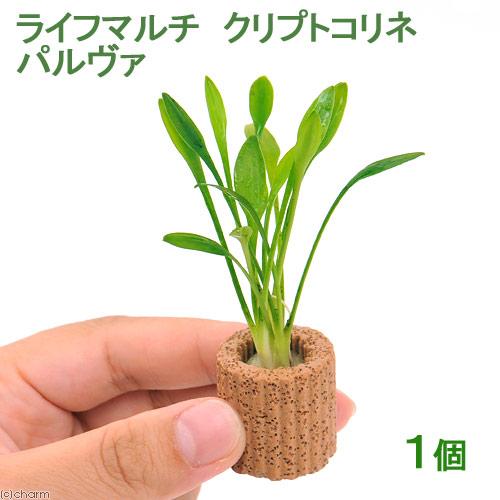 (水草)ライフマルチ(茶) クリプトコリネ パルヴァ(1個)
