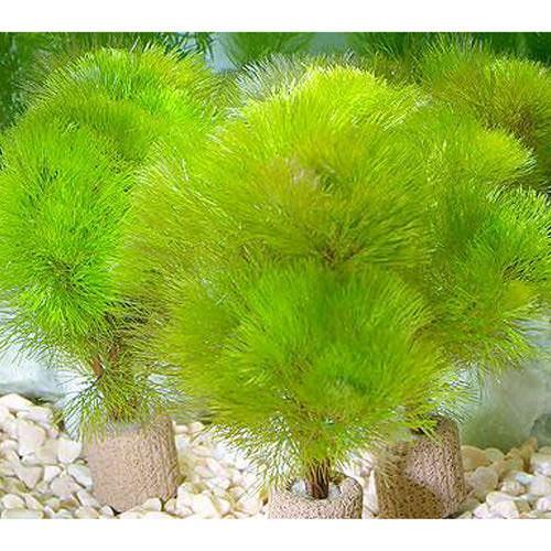 水草 メダカ 金魚藻 在庫一掃 ライフマルチ 茶 スーパーSALE セール期間限定 イエローカボンバ 1個