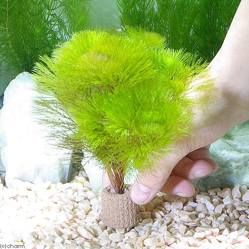 (水草)メダカ・金魚藻 ライフマルチ(茶) イエローカボンバ(1個) 北海道航空便要保温