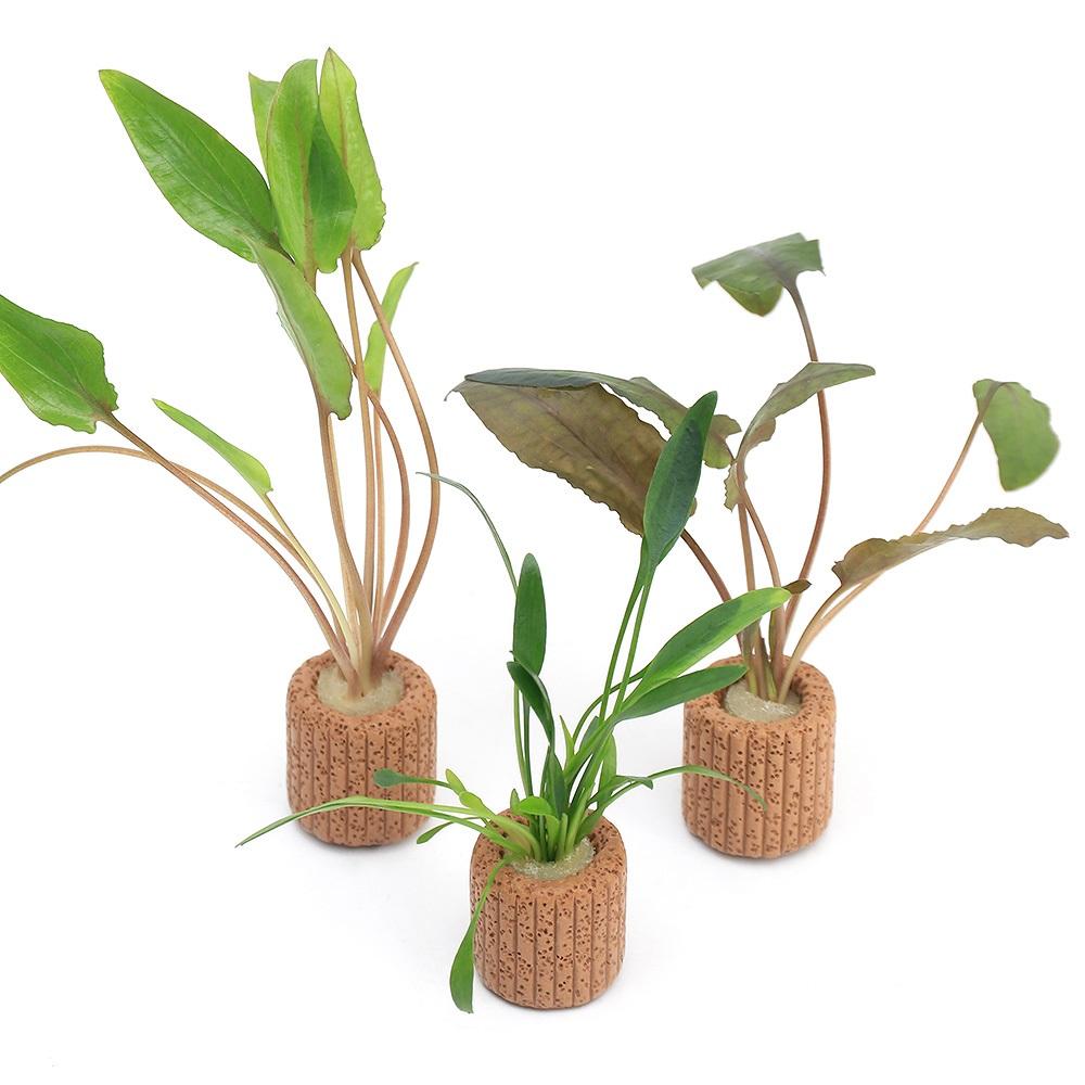 優先配送 水草 ライフマルチ 茶 おまかせクリプトコリネ 1個 日本未発売