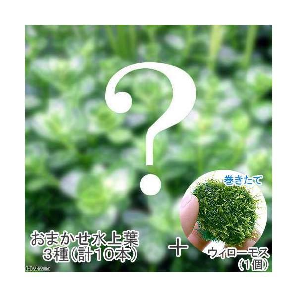 (水草)おまかせ水上葉 3種セット(計10本) + 巻きたて ウィローモスボール(無農薬)(1個) 熱帯魚 北海道航空便要保温