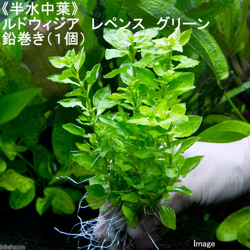 水草 半水中葉 新品未使用 ルドウィジア レペンス 鉛巻き 1個 結婚祝い 無農薬 グリーン