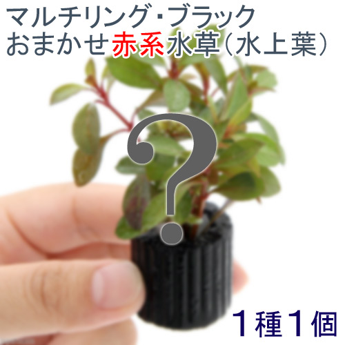 (水草)マルチリングブラック(黒) おまかせ赤系水草 1種(水上葉)(無農薬)(1個)