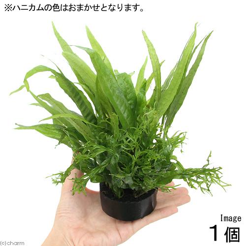 (水草)ハニカムシェルター 寄せ植えミックス Ver. ミクロソリウム(1個)