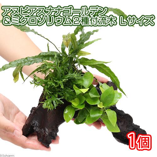 水草 バーゲンセール アヌビアスナナ ゴールデン ミクロソリウム2種 Lサイズ 1本 流木付 今だけ限定15%OFFクーポン発行中 約25cm