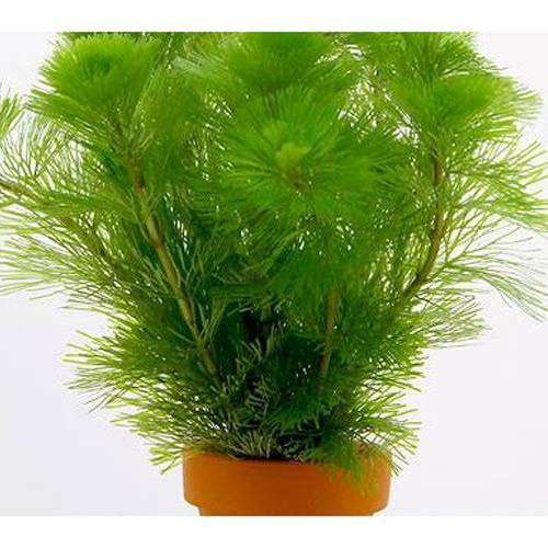 水草 メダカ 金魚藻 1個 ミニ素焼き鉢 引き出物 ファクトリーアウトレット カボンバ