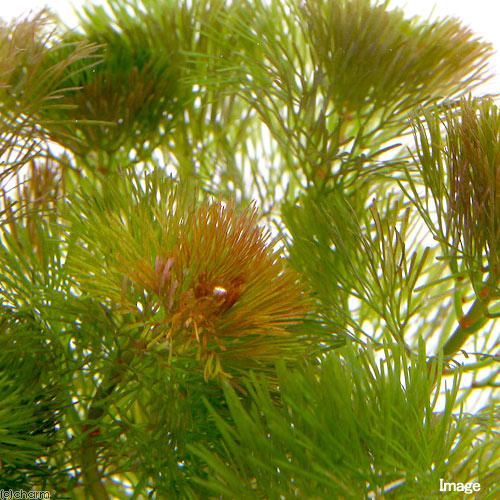 (水草)メダカ・金魚藻 レッドカボンバ ミニ素焼き鉢(3鉢) 北海道航空便要保温