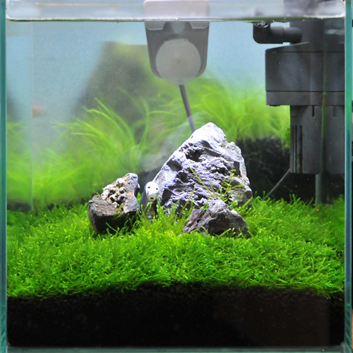 chanet iwagumi layout set 30 cm aquatic plants for the first time