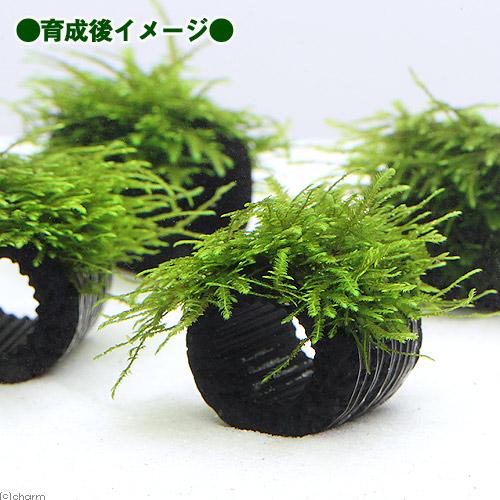 (水草)巻きたて マルチリングブラック(黒) クリスマスモス(無農薬)(3個) 北海道航空便要保温