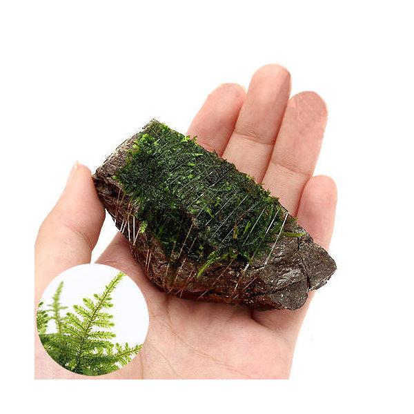 (水草)巻きたて クリスマスモス 風山石 SSサイズ(8cm以下)(無農薬)(1個)
