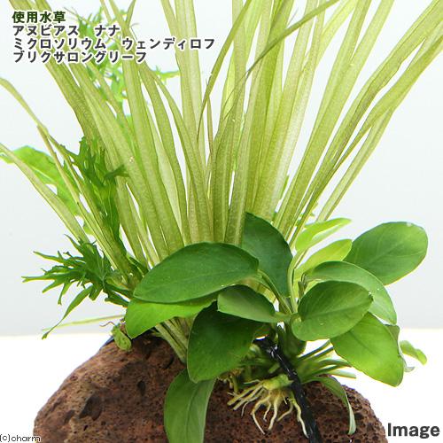 (水草)Plants Arrangement ザ ボンサイ Ver.10(1個) 北海道航空便要保温