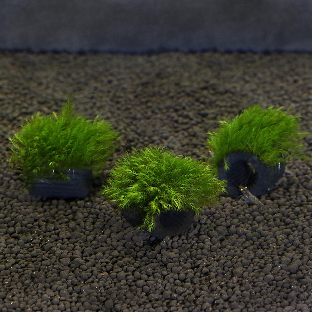(水草)育成済 マルチリングブラック(黒) ウォーターフェザー(無農薬)(3個)