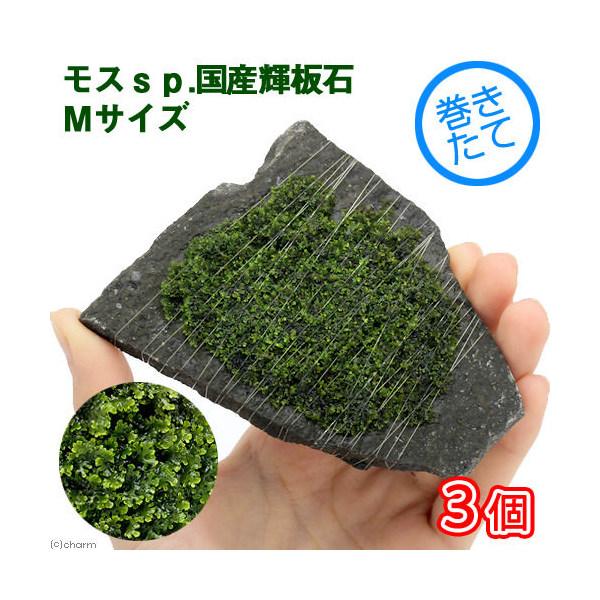 (水草)巻きたて モスsp.国産 輝板石 Mサイズ(無農薬)(3個)(約14cm) 北海道航空便要保温
