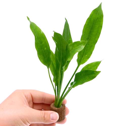 レビューを書けば送料当店負担 水草 Sサイズ ライフマルチ 茶 贈呈 アマゾンソード 草丈15~20cm前後 1個