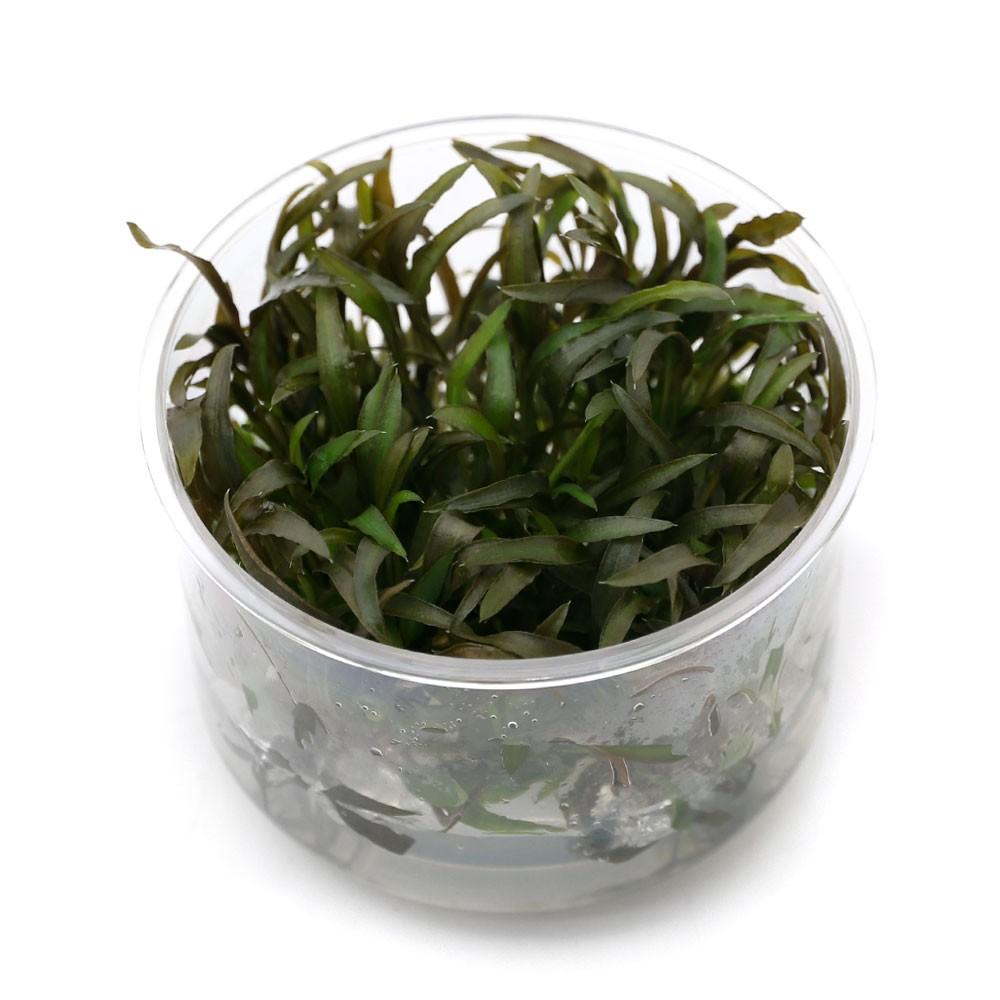(水草)組織培養 クリプトコリネ アクセルロディ(無農薬)(1カップ)