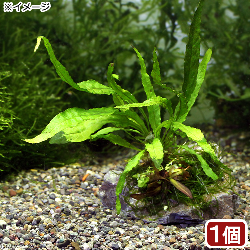 (水草)草たちの水景 風山石 ver.ミクロソリウム(無農薬)(1個) 北海道航空便要保温