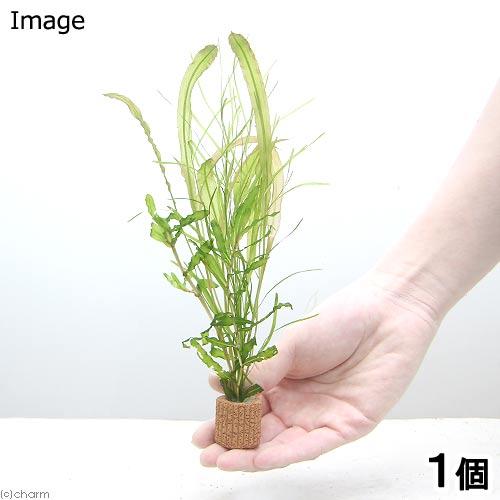(水草)ライフマルチ(茶) ポタモゲトンミックス(水中葉)(1個)