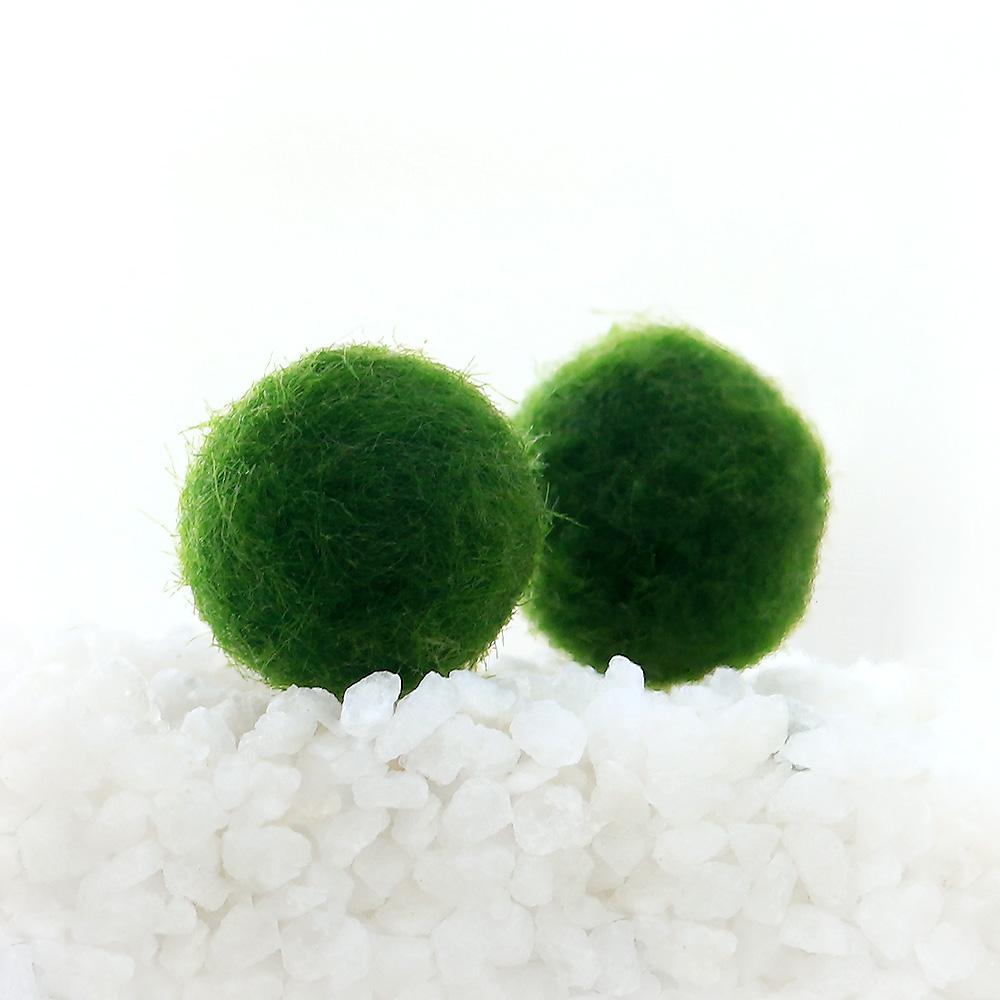 (水草)マリモ Mサイズ(無農薬)(6個) 北海道航空便要保温
