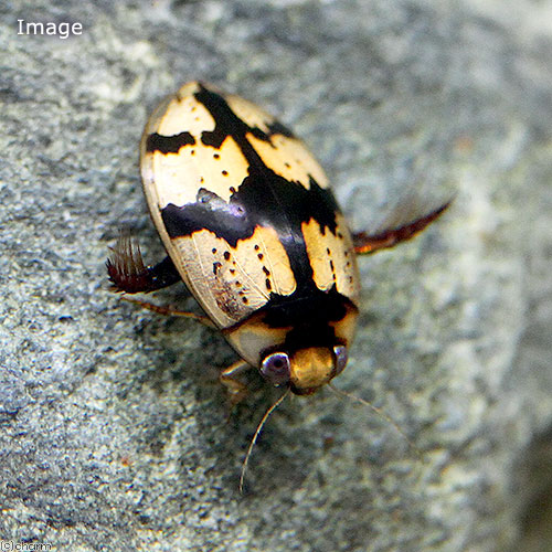 (昆虫)コハクゲンゴロウ タイ産(1匹) 沖縄・離島不可 タイム便・航空便不可