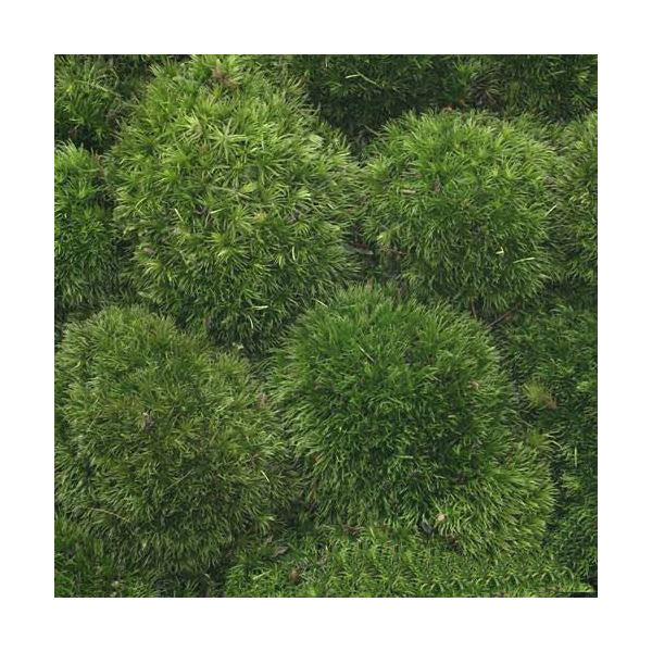 (観葉植物)苔 半トレー ヤマゴケ(ホソバオキナゴケ・アラハシラガゴケ) トレー1枚分 36×27cm