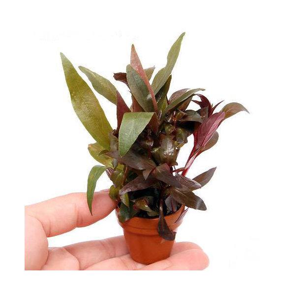 (水草)プチ素焼き鉢 おまかせ寄せ植えミックス ~紅葉~(水上葉)(無農薬)(1鉢)