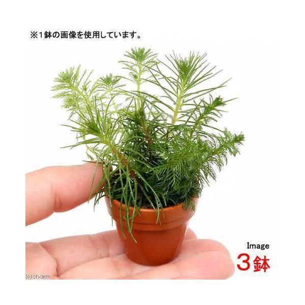(水草)プチ素焼き鉢 ミリオフィラムミックス(水上葉)(無農薬)(3鉢) 北海道航空便要保温