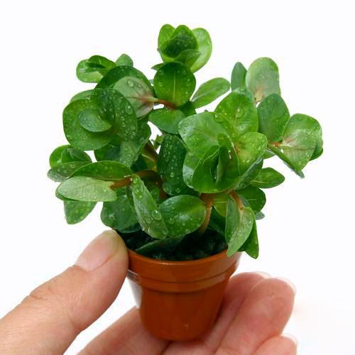 (水草)プチ素焼き鉢 ロタラ ロトンディフォリア(水上葉)(無農薬)(1鉢)