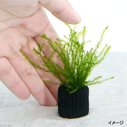 (水草)マルチリングブラック(黒) ノコギリカワゴケカーテン(無農薬)(1個) 北海道航空便要保温