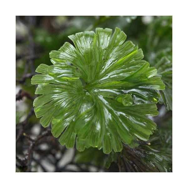 観葉植物 苔 入荷予定 流行のアイテム 半パック ウチワゴケ