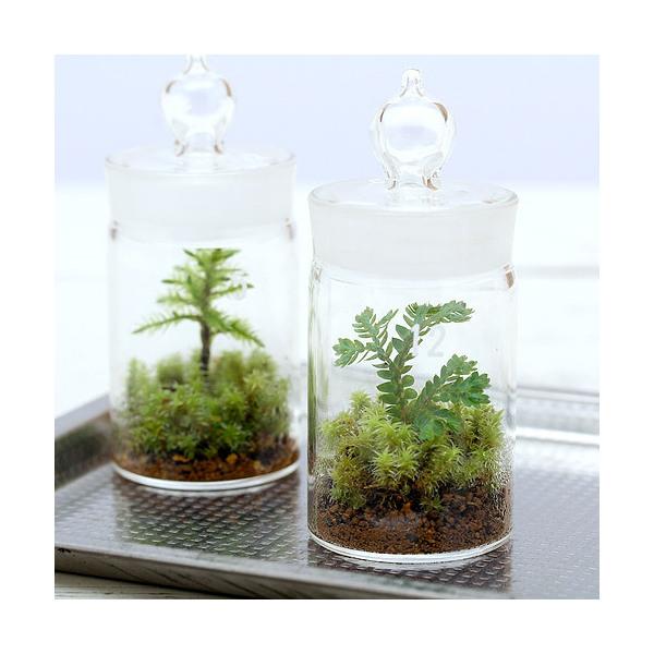 (観葉植物)苔Terrarium クラマゴケ ガラスボトルミニ 説明書付