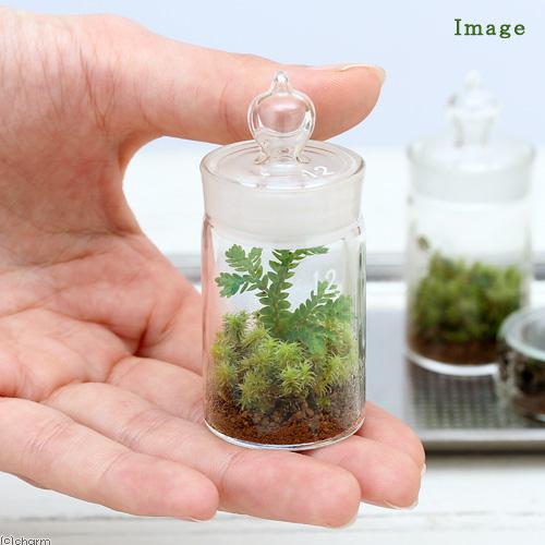 Chanet View Leaf Moss Terrarium Selaginella Remotifolia Glass