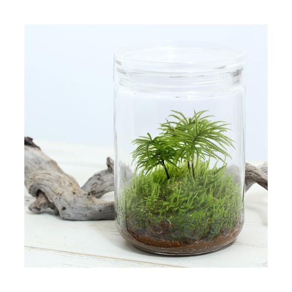 Chanet Houseplants Moss Terrarium Kowyanomannengusa Glass Bottle