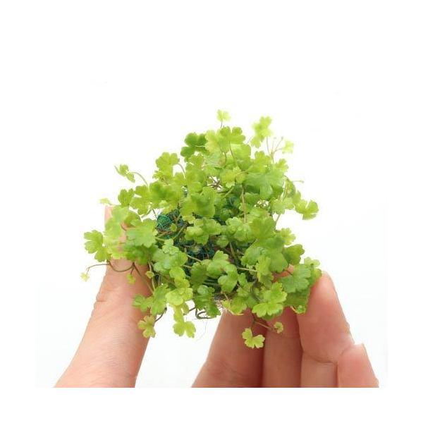 (水草)育成済 オーストラリアン ノチドメボール(水上葉)(無農薬)(1個)