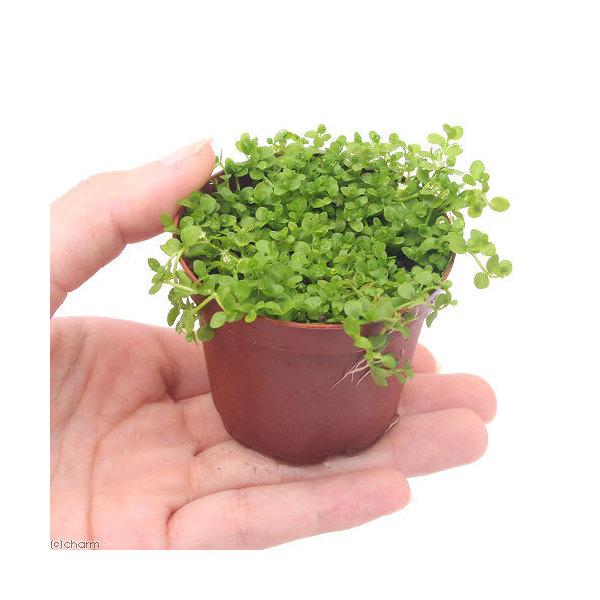 水草 付与 ニューラージパールグラス 返品送料無料 水上葉 1鉢 無農薬 鉢植え