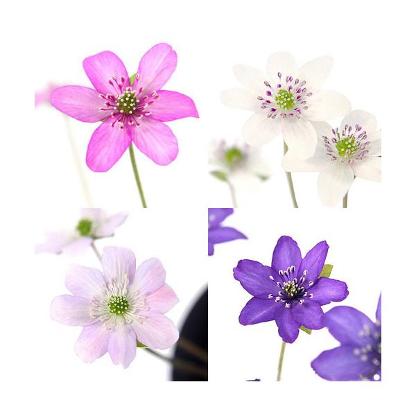 山野草 ユキワリソウ 雪割草 標準花 メイルオーダー 1ポット 花色おまかせ 激安通販ショッピング 3号